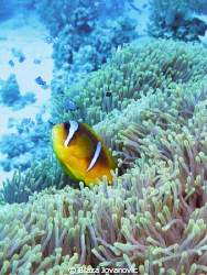 The Red Sea anemonefish; Canon 720is &amp; Inon Z240 x 2 by Blaza Jovanovic 